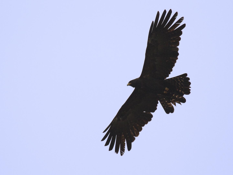 clip art soaring eagle - photo #17