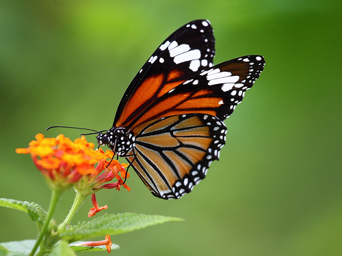 Striped Tiger (Danaus genutia) II