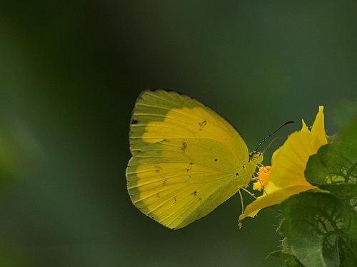 Spotless Grass Yellow Butterfly