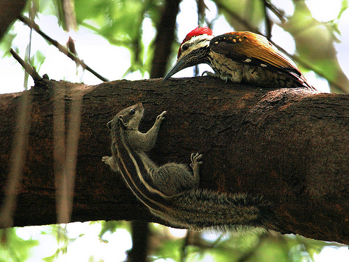 A lesser flameback woodpecker was indeed an uncommon visitor and the jungle babblers were all very curious