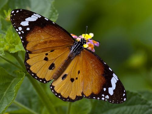 Plain Tiger (Danaus chrysippus)