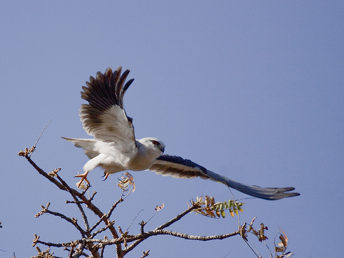 Banzai!! A Black-winged kite launches for an attack
