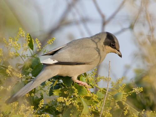Grey Hypocolius- Hypocolius ampelinus (male)