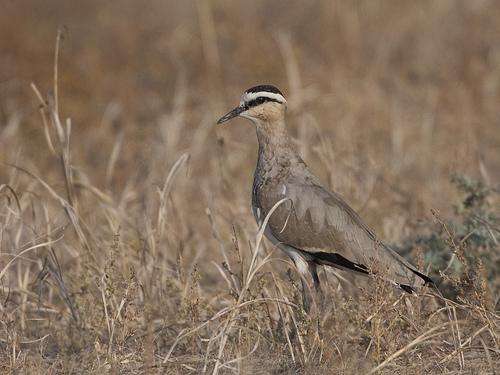 The critically endangered Sociable Plover - Vanellus gregarius