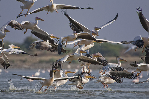 A flock of Great White Pelicans takes off