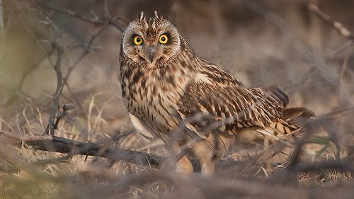 Short-eared Owl - Asio flammeus, Grab the large size to make a widescreen wallpaper