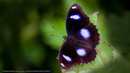 Danaid Eggfly - Hypolimnas misippus