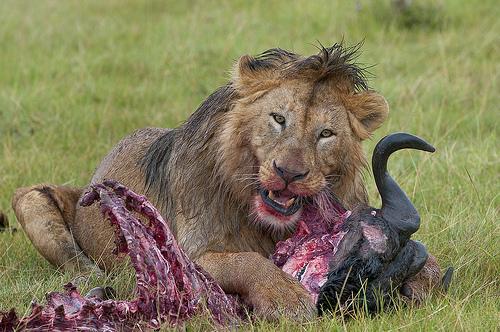 A male Lion devours a Gnu