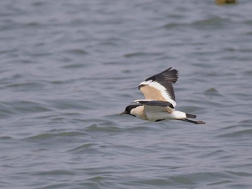 River Lapwing in flight