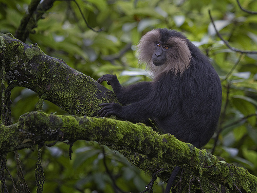 Lion-tailed macaque (Macaca silenus) under a rainforest canopy
