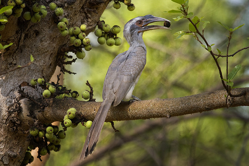 Indian Grey Hornbill (Ocyceros birostris) - eating one of its favourite fruits