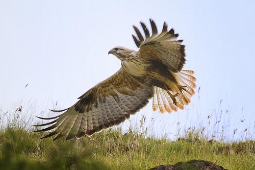 Long-legged Buzzard - take off