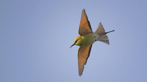 Green bee-eater, Merops orientalis in flight..