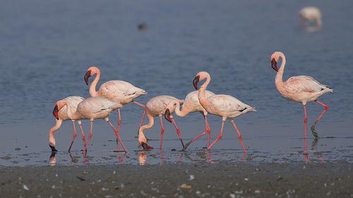 Lesser Flamingos at sunset...
