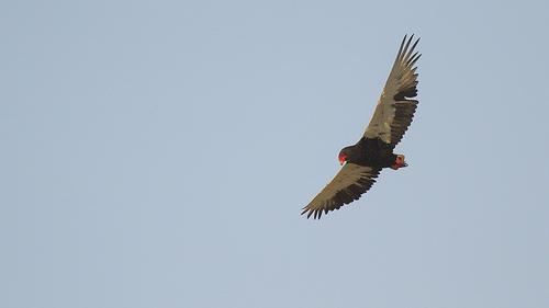 Bateleur - Male in flight