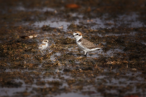 Kentish Plover with chick