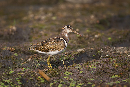 Greater-Painted Snipe - Male