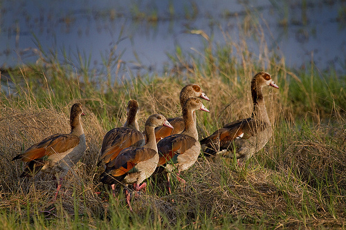A gaggle of Egyptian Geese