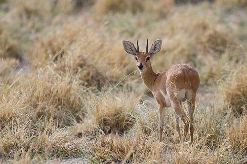 A male steenbok