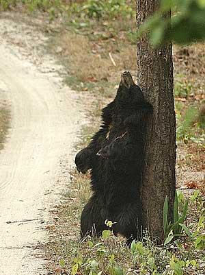 Bhalu the bear