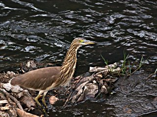 Pond Heron, 1024x768, 274KB