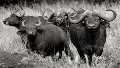 The look out - African Buffalo