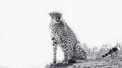 Cheetah in High Key